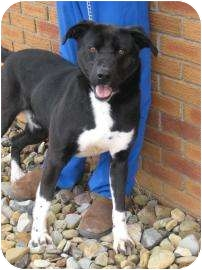 Labrador Retriever/Border Collie Mix Dog for adoption in Salem, Ohio - Seacrest