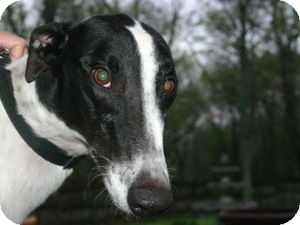 Greyhound Dog for adoption in Knoxville, Tennessee - Tyson