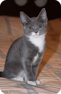 Domestic Shorthair Kitten for adoption in East Hanover, New Jersey - Sprite