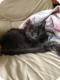 Russian Blue Cat for adoption in Harvey, Louisiana - Nick