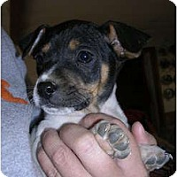 Adopt A Pet :: Dantie - Glastonbury, CT