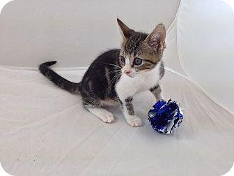 Domestic Shorthair Kitten for adoption in Fountain Hills, Arizona - JUNEBUG