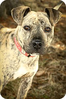 American Pit Bull Terrier Mix Dog for adoption in Anderson, Indiana - Stallone