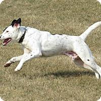 Adopt A Pet :: Niklas-ILLINOIS - Wood Dale, IL