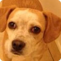 Adopt A Pet :: Chicki - Canoga Park, CA