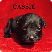 Adopt A Pet :: Cassie - Batesville, AR