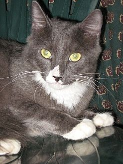 Domestic Shorthair Cat for adoption in Oviedo, Florida - Han
