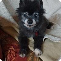 Adopt A Pet :: Amelia - Wilmington, DE