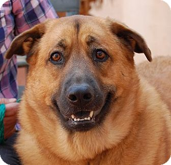 Shepherd (Unknown Type)/Chow Chow Mix Dog for adoption in Las Vegas, Nevada - Margie