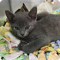 Adopt A Pet :: Sorbet - Glendale, AZ