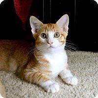 Adopt A Pet :: Halo - St. Charles, MO