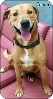 Labrador Retriever Mix Dog for adoption in Ottumwa, Iowa - Tommy