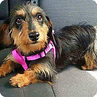 Adopt A Pet :: Lainie - Andalusia, PA