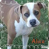 Adopt A Pet :: Alice - Rowlett, TX