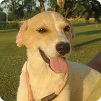 Labrador Retriever Mix Puppy for adoption in Westport, Connecticut - Evan