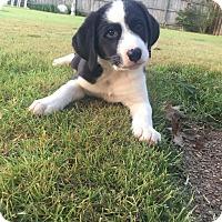 Border Collie Mix Puppy for adoption in Colmar, Pennsylvania - Tucker