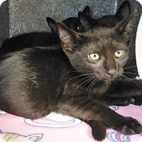 Domestic Shorthair Cat for adoption in Henderson, North Carolina - Farm Kittens (6)