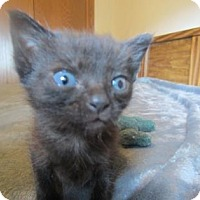 Domestic Shorthair Kitten for adoption in Wichita, Kansas - Onyx