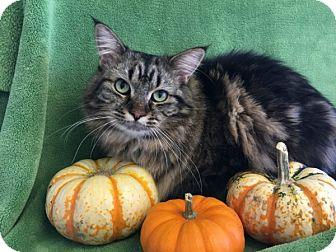 Maine Coon Cat for adoption in Colorado Springs, Colorado - Mischa
