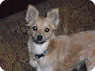 Pomeranian/Chihuahua Mix Dog for adoption in Salem, Oregon - Leila