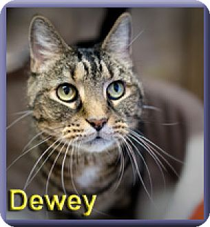 Domestic Shorthair Cat for adoption in Aldie, Virginia - Dewey