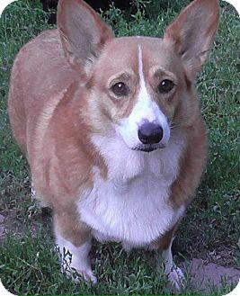 Corgi Dog for adoption in Verona, New Jersey - Didi: Adoption Pending