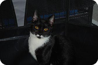 Domestic Shorthair Cat for adoption in Exton, Pennsylvania - Elise (PB)