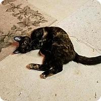 Adopt A Pet :: Stella - Fairfax, VA
