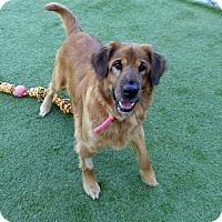 Adopt A Pet :: Brownie #2 - Towson, MD