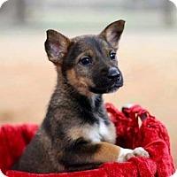 Adopt A Pet :: PUPPY MAGGIE - Norfolk, VA