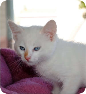 Siamese Kitten for adoption in Palmdale, California - Cotton