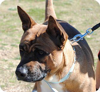 Boxer/Akita Mix Dog for adoption in Richmond, Virginia - Marysol (photolink)