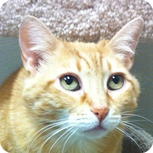 Domestic Shorthair Cat for adoption in Gilbert, Arizona - Penny