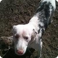 Adopt A Pet :: aussie mom - Alliance, NE