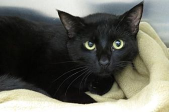 Bombay Cat for adoption in Santa Monica, California - Poe (Gentle Boy!)