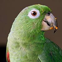 Adopt A Pet :: Bogey - St. Louis, MO