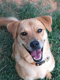 Shar Pei/Labrador Retriever Mix Dog for adoption in Albemarle, North Carolina - Ruby