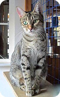 Egyptian Mau Cat for adoption in Davis, California - Kiya