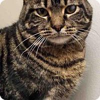 Adopt A Pet :: Spatz - Plainfield, IL