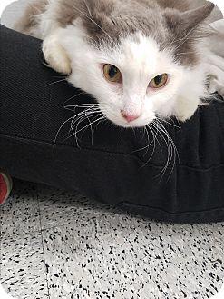 Domestic Longhair Cat for adoption in Pasadena, California - Pugsly