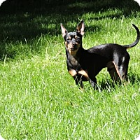 Miniature Pinscher Dog for adoption in Omaha, Nebraska - Rusty