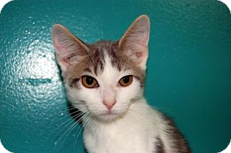 Domestic Shorthair Kitten for adoption in Lake City, Michigan - Kitten ID# 1807