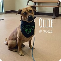 Terrier (Unknown Type, Medium)/Chow Chow Mix Dog for adoption in Alvin, Texas - Ollie