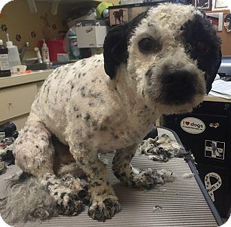 Bichon Frise/Cockapoo Mix Dog for adoption in Oak Ridge, New Jersey - Elliot