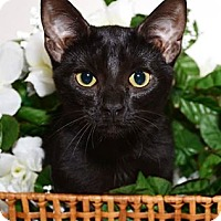 Domestic Shorthair Kitten for adoption in Hazel Park, Michigan - Colette