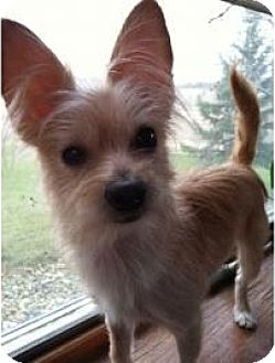 Yorkie, Yorkshire Terrier/Chihuahua Mix Dog for adoption in Union Grove, Wisconsin - Fifi