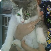 Domestic Mediumhair Cat for adoption in Gloucester, Virginia - SEBASTIAN