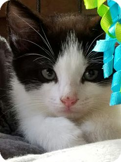 Domestic Shorthair Kitten for adoption in Island Park, New York - Iggy