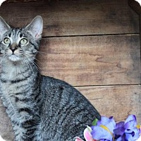 Adopt A Pet :: Luna - Germantown, MD