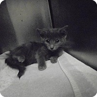 Adopt A Pet :: Ringo - Springfield, TN